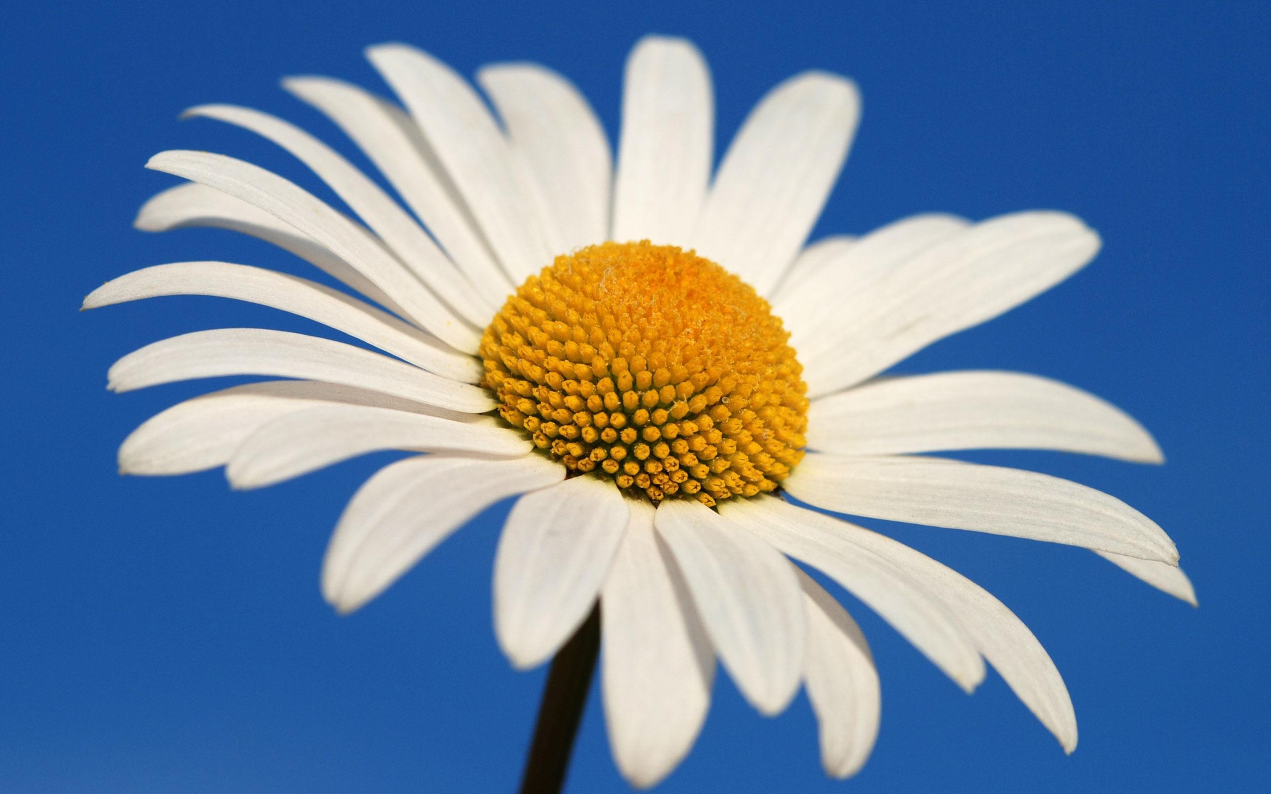 304210-daisy